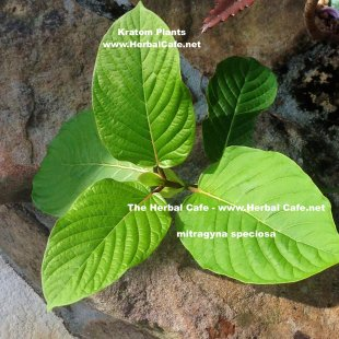 kratom plant - The Herbal Cafe - The Kratom Cafe since 2005