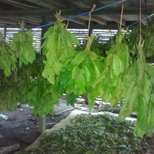 kratom drying