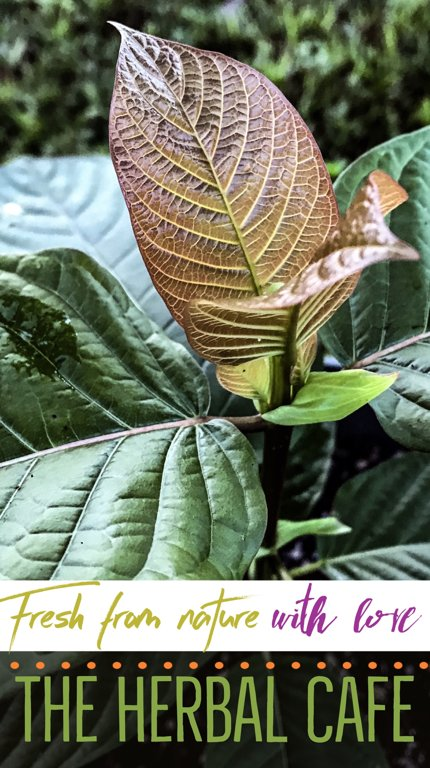 buy authentic pure kratom leaf powders plants and seeds